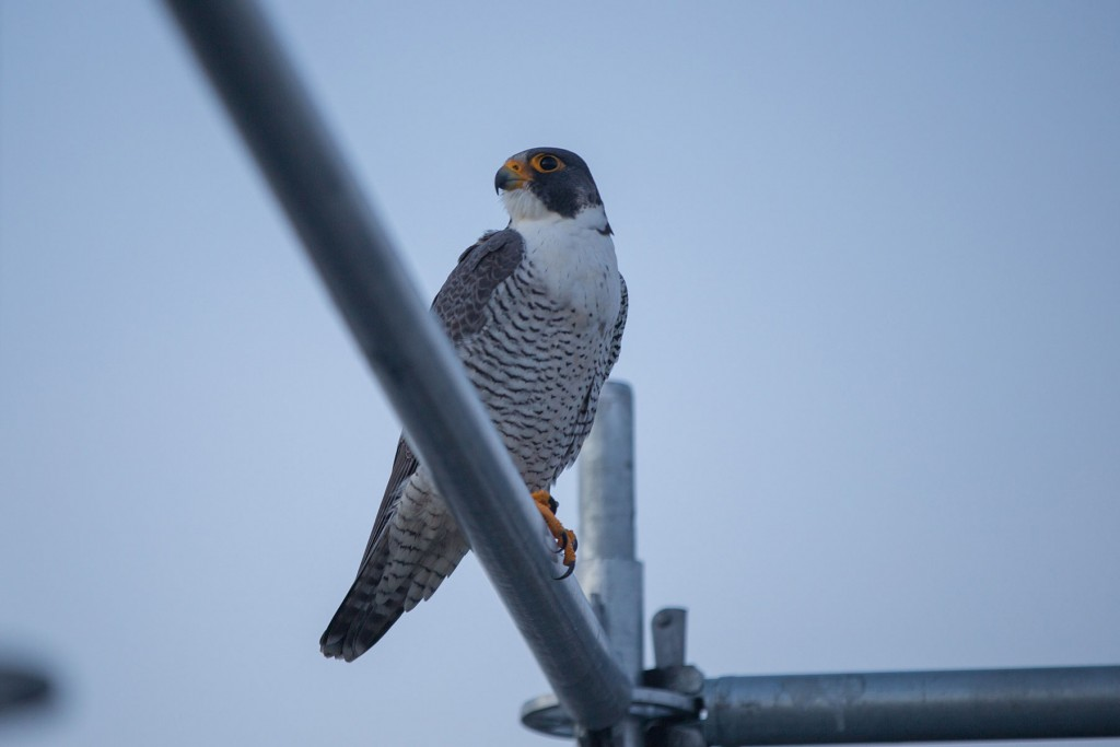 The Tappan Zee Falcons Are Nesting Watch Them on the
